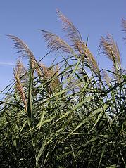 Roseau commun (Phragmites australis)