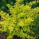 Physocarpe à feuille d'obier – physocarpus opulifolius (petit format, pot 1 litre)