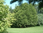 Thuya occidental – cèdre du Canada (gros format, pot 2 gallons 60 cm)