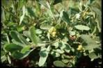 Myrique baumier – myrica gale (petit format, pot 1 litre)