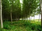 Peuplier baumier – Populus balsamifera (gros format, pot 2 gallons 100 cm)