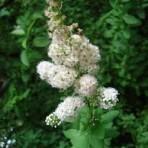 Spirée à larges feuilles – Spiraea latifolia (petit format, pot 1 litre)