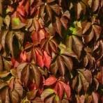 Vigne vierge – parthenocissus quinquefolia (petit format, pot 1 litre)