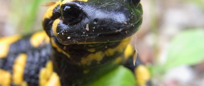Une nouvelle maladie s'attaque aux salamandres.