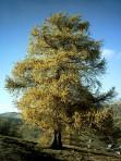 Mélèze – Larix laricina (gros format, pot 2 gallons 50 cm)