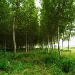 Peuplier baumier – Populus balsamifera (petit format, pot 1 litre 35 cm)