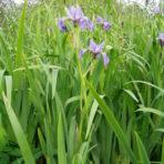 Iris versicolore – iris versicolor (petit format, pot 1 litre)