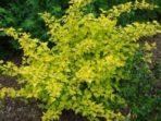Physocarpe à feuille d'obier – physocarpus opulifolius (gros format, pot 2 gallons)