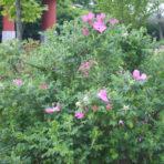 Rosier rugueux – Rosa rugosa (petit format, pot 1 litre)