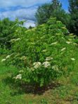 Sureau du Canada (blanc) – Sambucus canadensis (gros format, pot 1 gallon 40 cm)