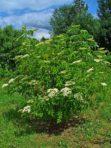 Sureau du Canada (blanc) – Sambucus canadensis (petit format, pot 1 litre)