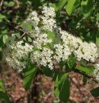 Viorne cassinoide – Viburnum cassonoides (petit format, pot 1 litre)