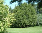 Thuya occidental – cèdre du Canada (petit format, pot 1 litre 35 cm)