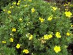 Potentille jaune – potentilla fruticosa (gros format, pot 1 gallon)