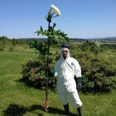 La berce du Caucase : une plante à éliminer